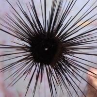 Выраженное лучевое строение (антисферичность) тела морского ежа