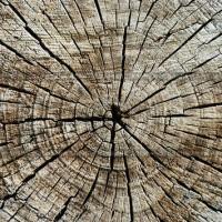 Радиально-кольцевое строение дерева
